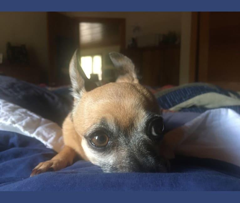 Photo of Sensei, a Chihuahua, Miniature Schnauzer, Pomeranian, and Mixed mix in Pinetop-Lakeside, Arizona, USA