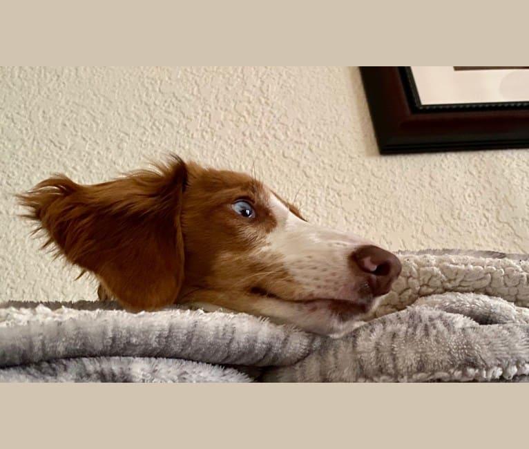 Photo of Ada, a Dachshund  in Missouri, USA
