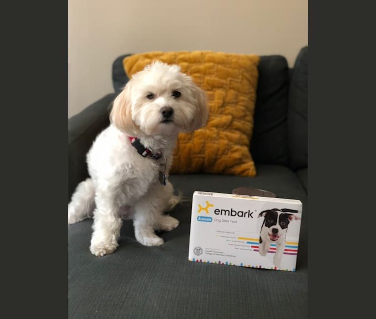 Photo of Cupcake, a Maltese, Chow Chow, Chihuahua, Pomeranian, Poodle (Small), and Mixed mix in Los Angeles, California, USA