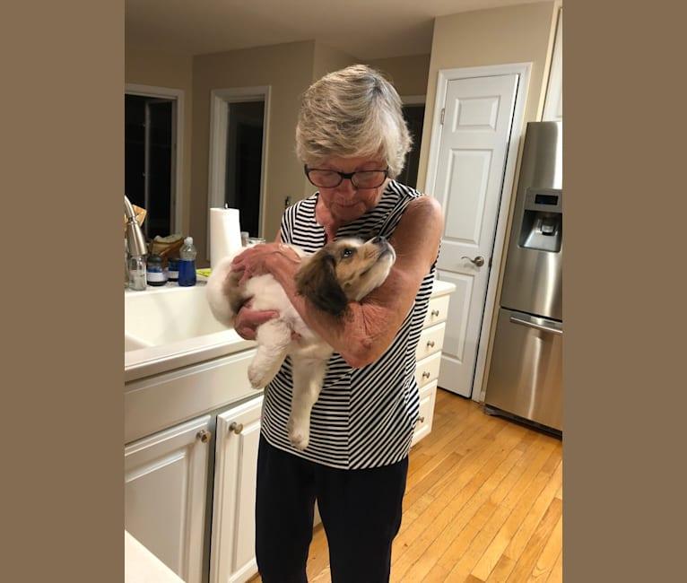 Photo of Dolly, a Cocker Spaniel, Chow Chow, Pembroke Welsh Corgi, Australian Cattle Dog, Beagle, American Eskimo Dog, and Mixed mix in Delaware, USA