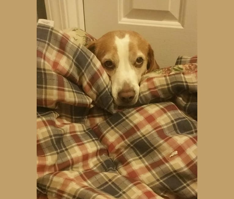 Photo of T T (Todd), a Beagle