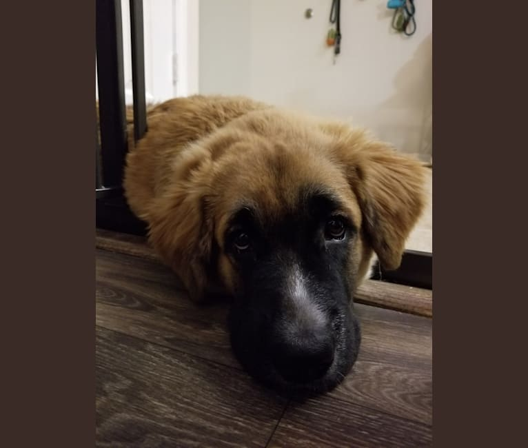 Photo of Nugget, a Boxer, Chow Chow, Australian Cattle Dog, and German Shepherd Dog mix in Colorado Springs, Colorado, USA