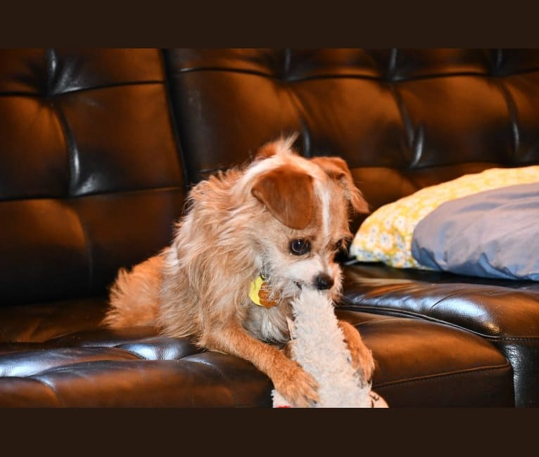 Photo of Dobby, a Chihuahua, Poodle (Small), Shih Tzu, and Mixed mix in USA