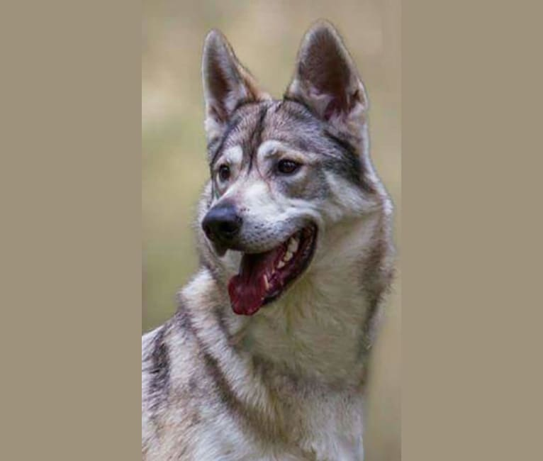 Photo of Tommen, a German Shepherd Dog, Siberian Husky, and Alaskan Malamute mix