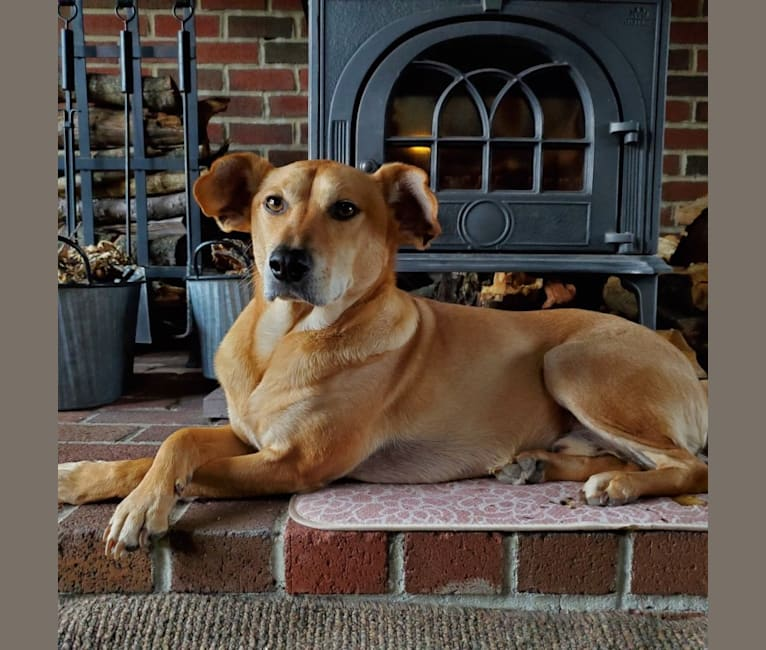 Photo of Alfie, a Beagle, American Pit Bull Terrier, and Mixed mix in Montgomery, New Jersey, USA