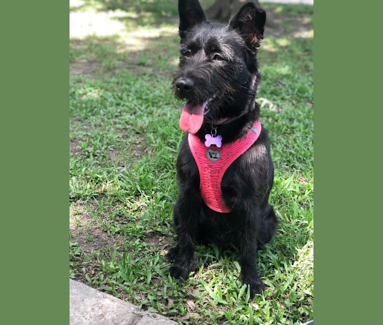 Photo of Minnie, a Miniature Schnauzer, Labrador Retriever, Australian Shepherd, American Pit Bull Terrier, German Shepherd Dog, Chow Chow, and Mixed mix in Jackson, Mississippi, USA