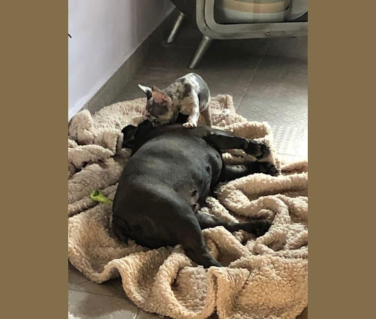 Photo of Claude, a French Bulldog  in Valencia, Spain