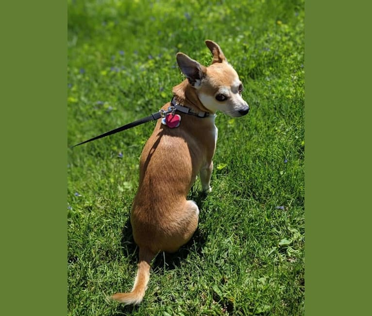 Photo of Wally, a Chihuahua, Pomeranian, Beagle, and Rat Terrier mix in Jeff, Indiana, USA