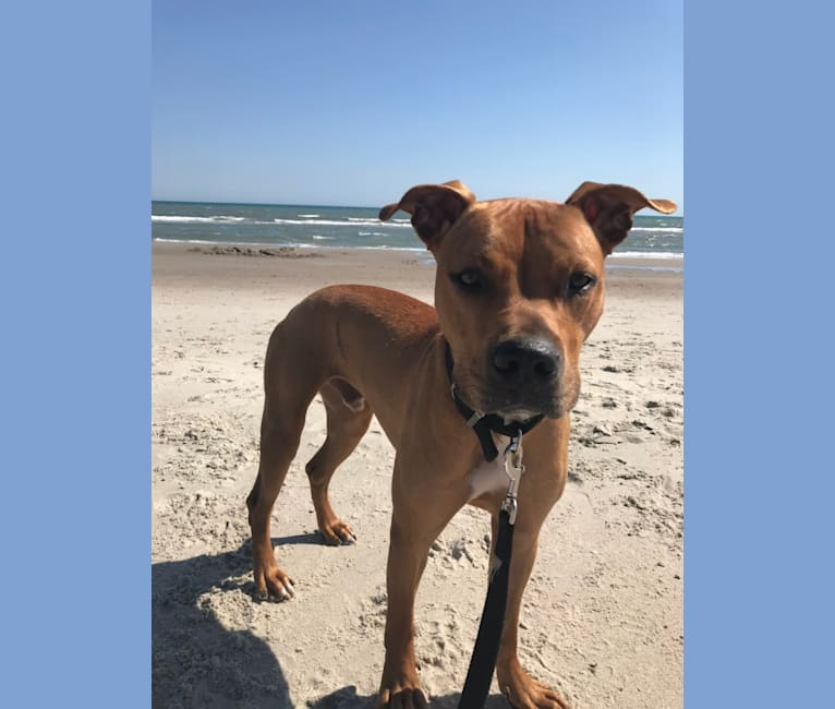 Photo of Forbes, an American Pit Bull Terrier  in Asheboro, North Carolina, USA