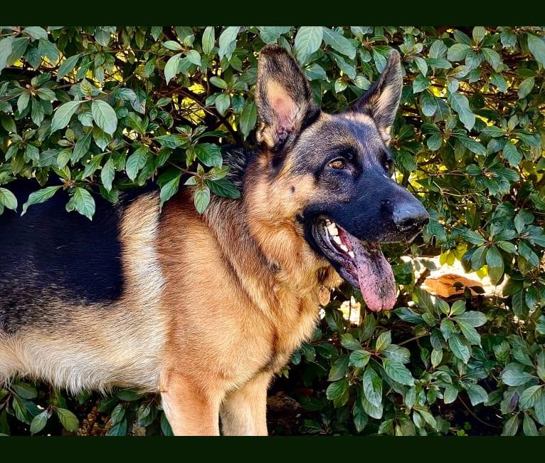 Photo of Loki, a German Shepherd Dog  in Southernwind Kennels German Shepherd breeder in Florida, Phillips Road, Brooksville, FL, USA