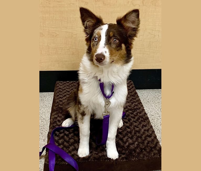 Photo of Tessa, an Australian Shepherd Group  in Valdosta, Georgia, USA