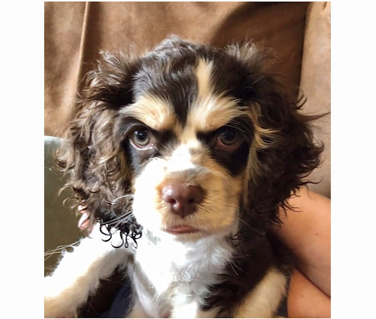 Photo of Archie, a Cocker Spaniel  in Murrieta, California, USA