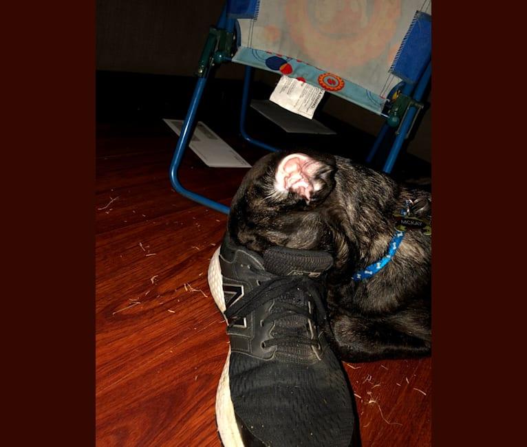 Photo of Shadow, a German Shepherd Dog, Great Pyrenees, Cane Corso, and American Bulldog mix