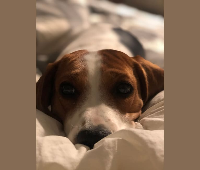 Photo of Remington (Remy), a Beagle  in New Liberty, KY, USA