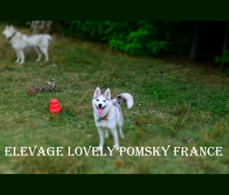 Photo of ONYX, a Pomsky (19.7% unresolved) in Gripport, France