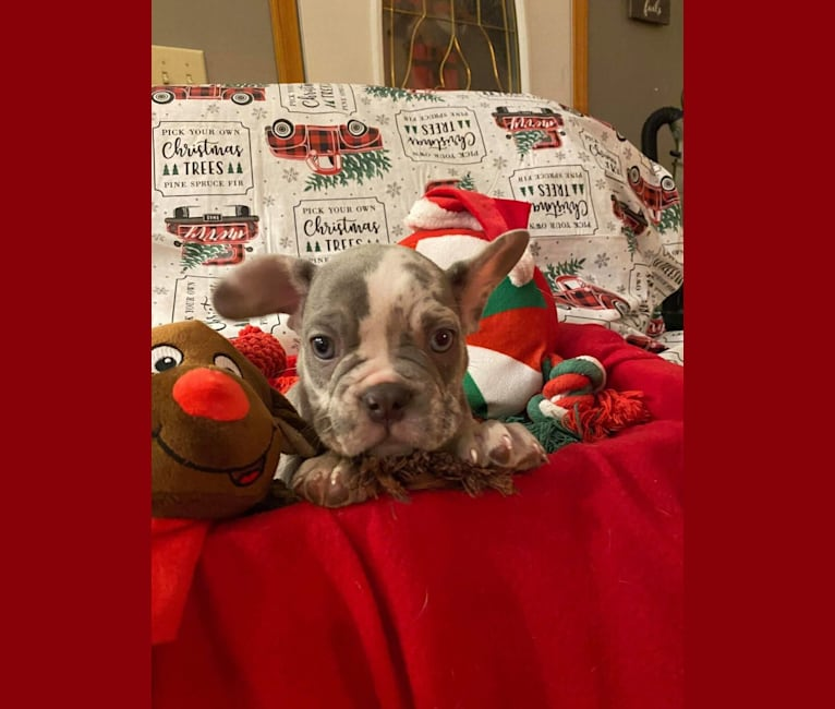 Photo of Blaze, a French Bulldog  in Millersburg, OH, USA