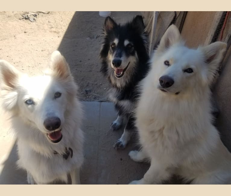 Photo of Frosty, a German Shepherd Dog, Siberian Husky, Samoyed, Alaskan Malamute, and Mixed mix in Deming, NM, USA