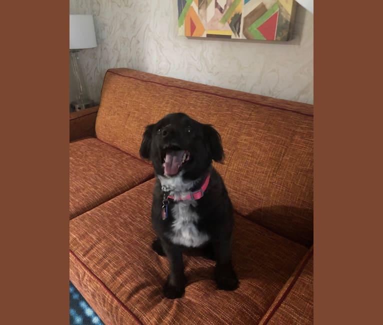 Photo of Abby, a Miniature Schnauzer, Cocker Spaniel, and Mixed mix in Dallas, Texas, USA