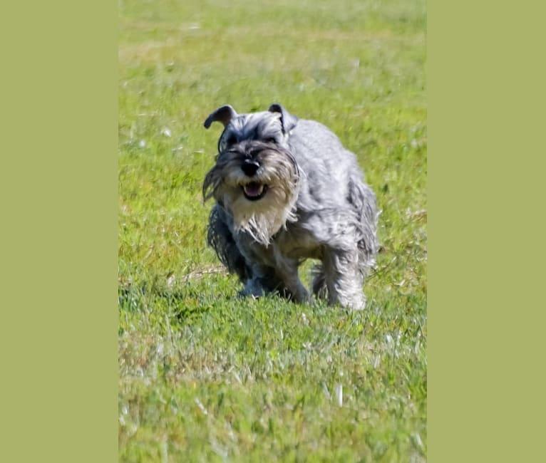 Photo of Annie, a Standard Schnauzer  in Atlanta, GA, USA