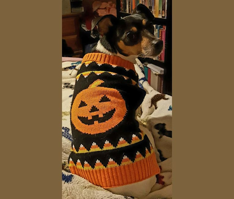 Photo of Ruby, a Rat Terrier