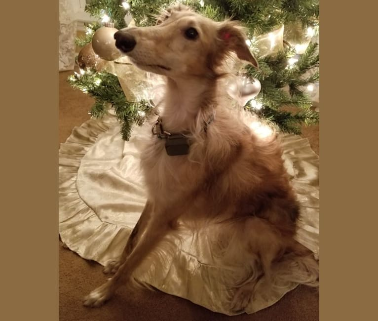 "Photo of KRISTULL GLIMMER  ""Mika"", a Silken Windhound  in Austin, TX, USA"