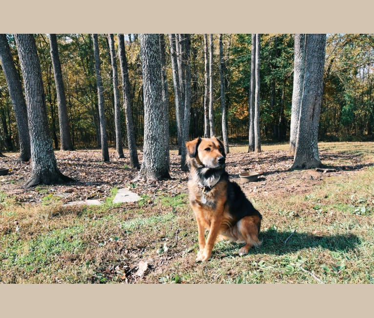 Photo of Mila, an American Pit Bull Terrier, Labrador Retriever, German Shepherd Dog, Chow Chow, Boxer, Siberian Husky, and Mixed mix in Evansville, Indiana, USA