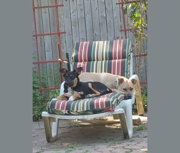 Photo of Ellie, an Australian Cattle Dog, Labrador Retriever, and English Shepherd mix in South Carolina, USA