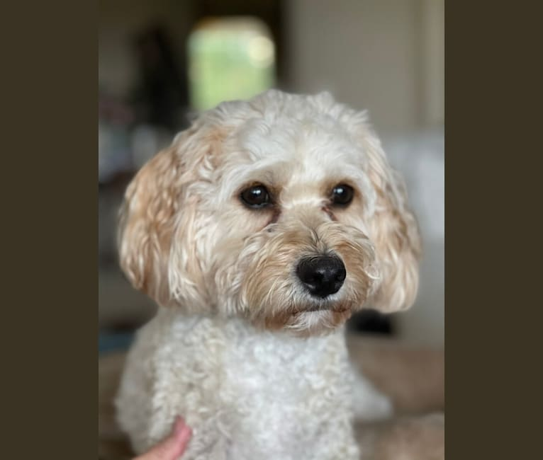 Photo of Leo, a Cavapoo  in Crystal Springs, Florida, USA