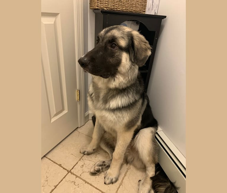 Photo of Archie, a German Shepherd Dog, Great Pyrenees, and Mixed mix in Stamford, Connecticut, USA