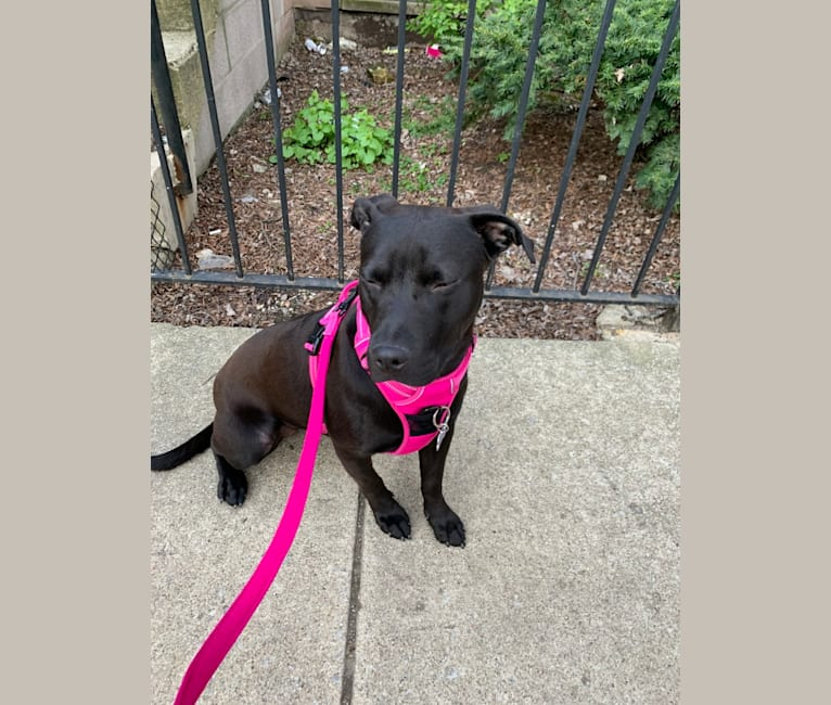 Photo of Sophie, an American Pit Bull Terrier, Labrador Retriever, and American Staffordshire Terrier mix in Alabama, USA