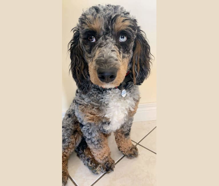 Photo of Artie (King Arthur of the Red Barn), a Poodle  in Apple Creek, Ohio, USA