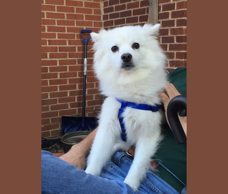 Photo of Ozzie, an American Eskimo Dog  in Ohio, USA