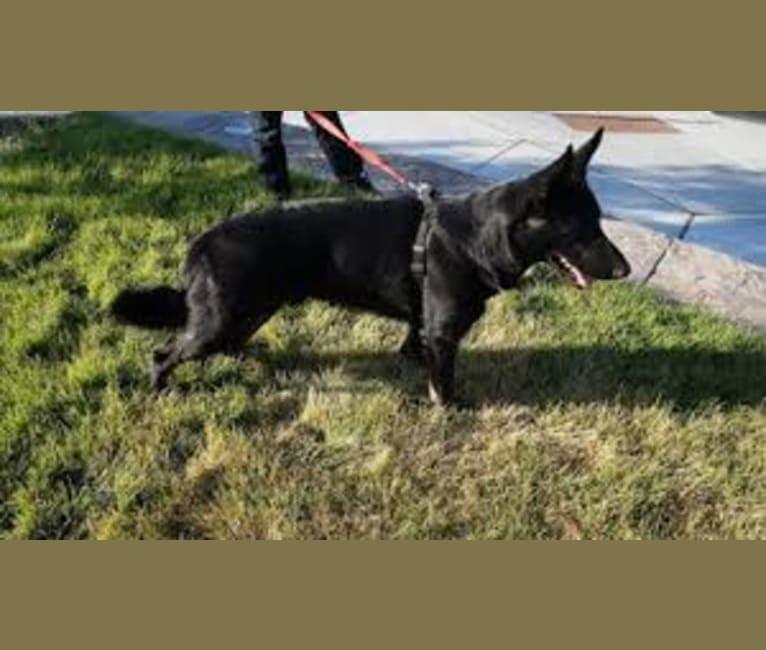 Photo of Koby Barron Schacht, a German Shepherd Dog  in USA