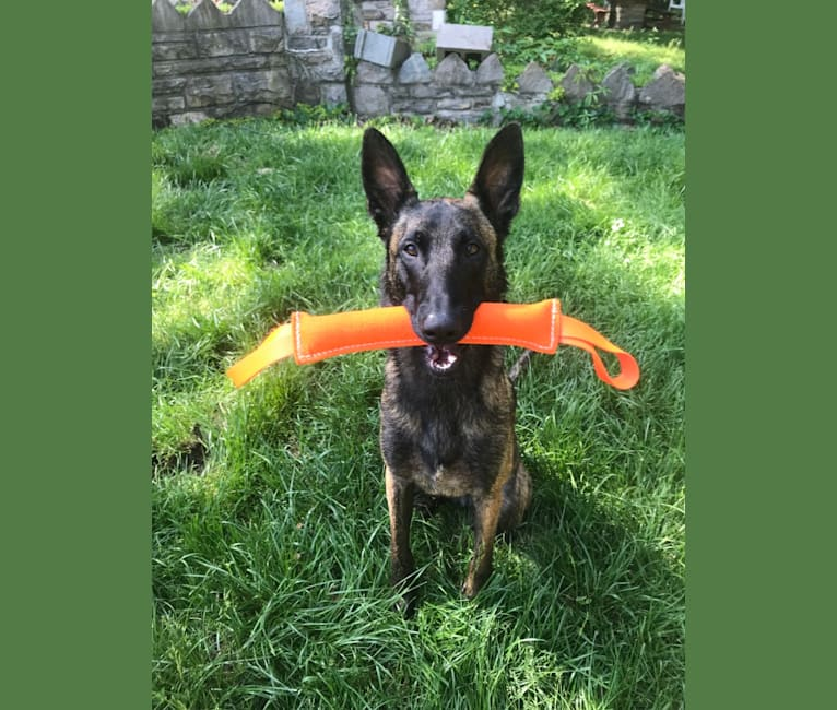 Photo of The Apache, a Belgian Shepherd  in Tennessee, USA