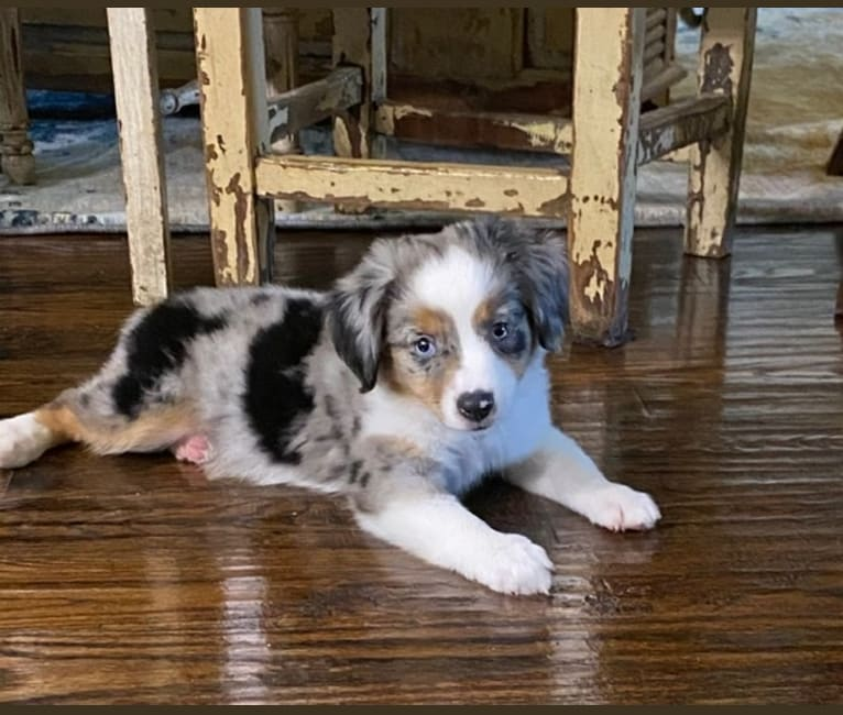Photo of AJ, an Australian Shepherd Group  in Gunter, Texas, USA
