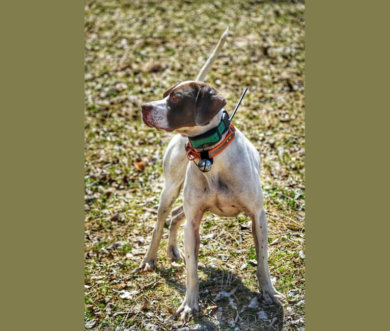 Photo of Barley, a Pointer  in Boscawen, New Hampshire, USA