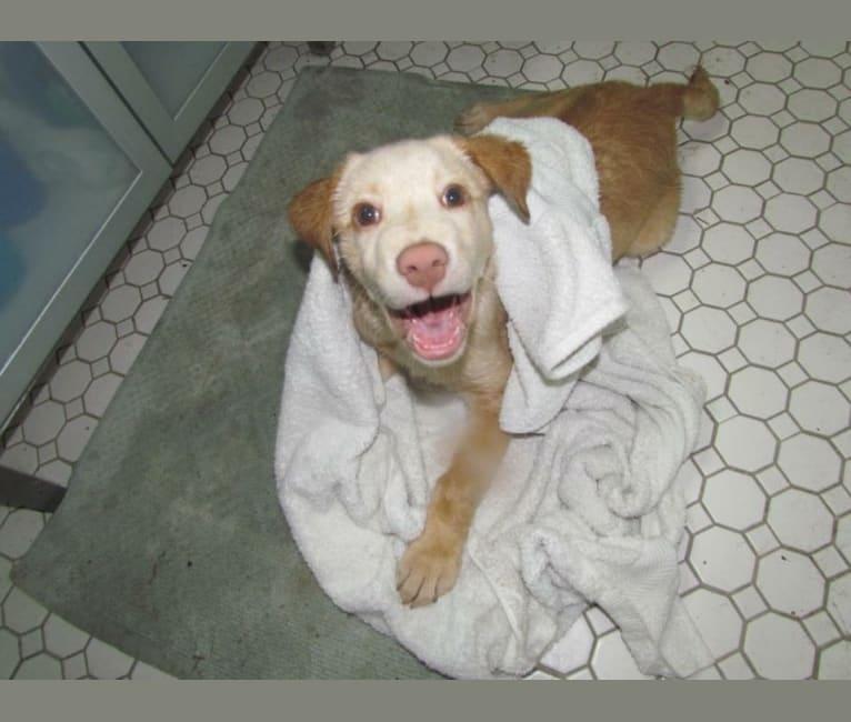 Photo of Taco, a Labrador Retriever, Chow Chow, and Mixed mix in Ohio, USA
