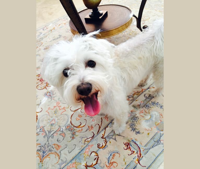 Photo of Buddy, a Bichon Frise, Miniature Schnauzer, and Chihuahua mix in Los Angeles, California, USA