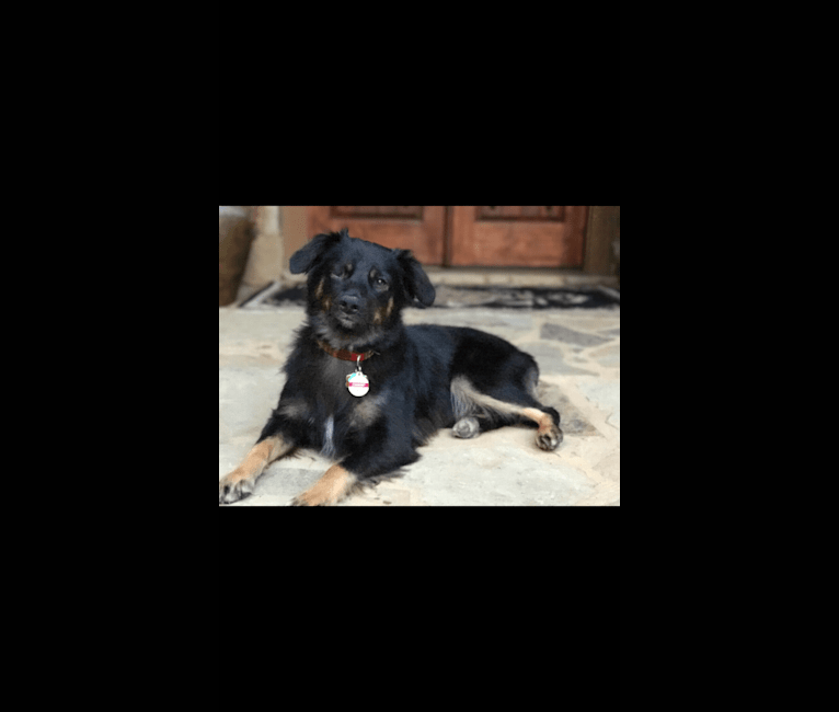 Photo of Dansby, an Australian Shepherd Group  in Gainesville, Georgia, USA