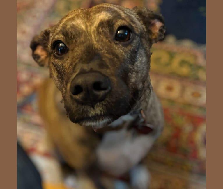 Photo of Tiki, an American Pit Bull Terrier, Australian Cattle Dog, and Australian Shepherd mix in North Carolina, USA