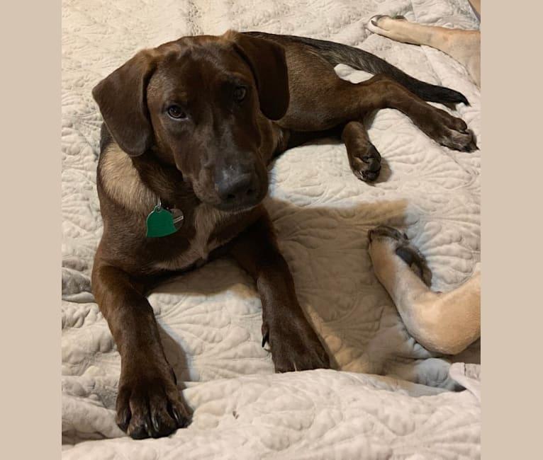 Photo of Rasta, an Australian Cattle Dog, German Shepherd Dog, Labrador Retriever, Bullmastiff, and Mixed mix in Texas, USA
