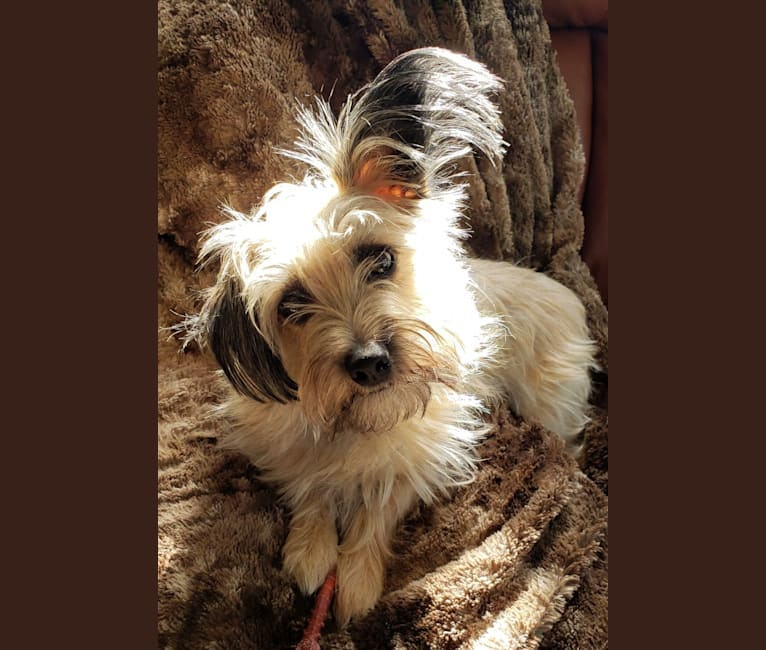Photo of Otis, a Dachshund, Yorkshire Terrier, Shih Tzu, Maltese, Chihuahua, and Pomeranian mix in St. Petersburg, Florida, USA