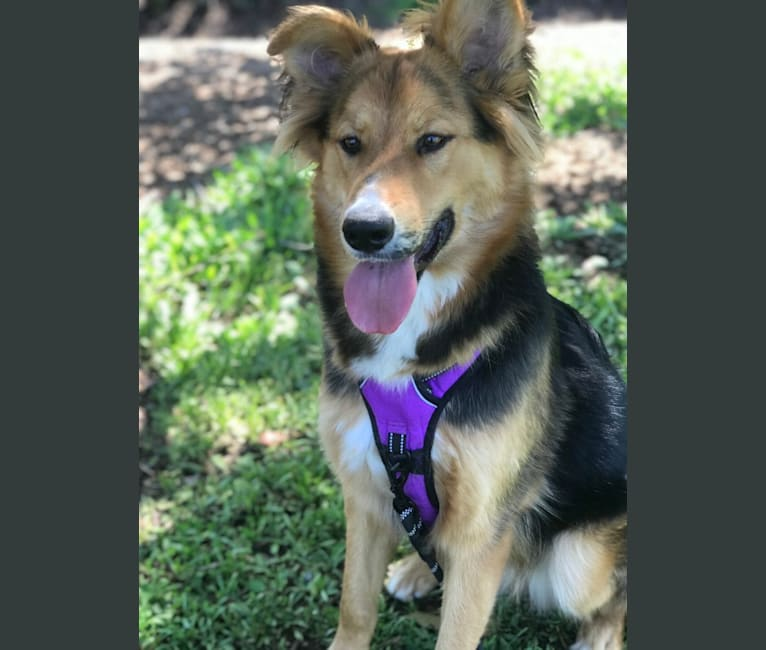 Photo of Koda, a German Shepherd Dog, Siberian Husky, Australian Cattle Dog, and Mixed mix in Los Angeles, California, USA