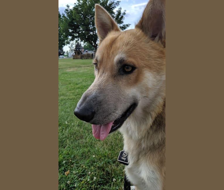 Photo of Loki, a German Shepherd Dog and Siberian Husky mix in Byron, New York, USA