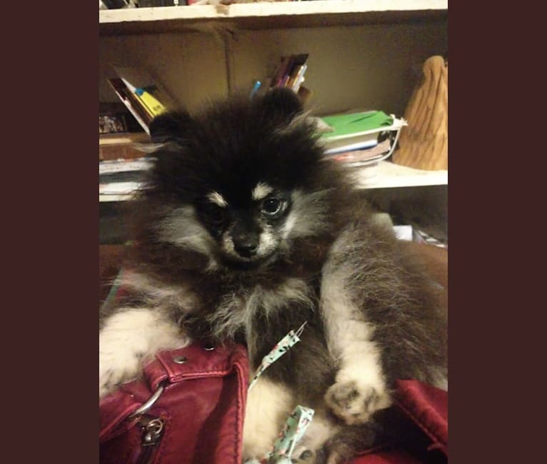 Photo of Trixie, a Pomeranian  in Palm Springs, CA, USA