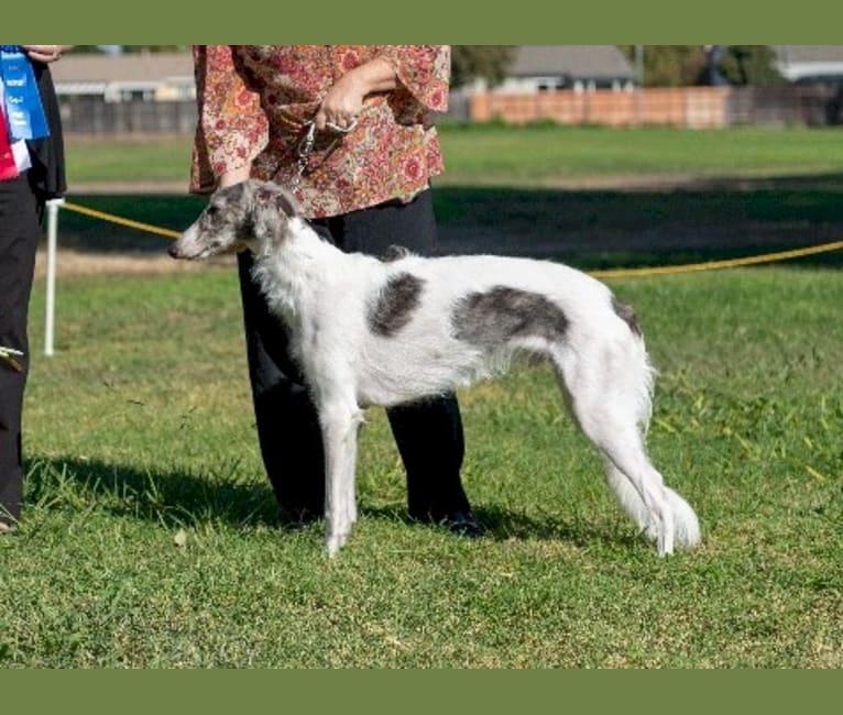 Photo of Valor, a Silken Windhound  in Austin, TX, USA