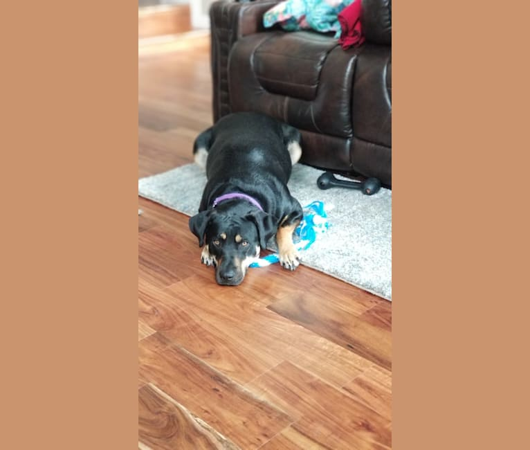 Photo of Loretta, a Rottweiler and American Pit Bull Terrier mix in Houston, Texas, USA