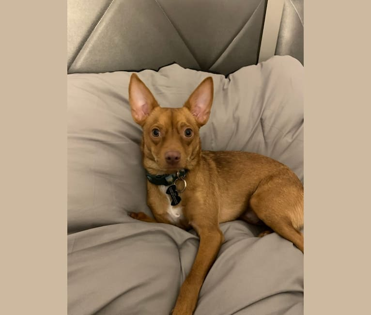 Photo of Gio, a Chihuahua, Pomeranian, and Cocker Spaniel mix in New York, New York, USA