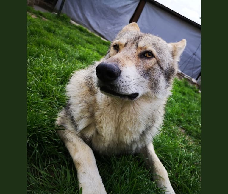 Photo of Nephi, a Saarloos Wolfdog  in France