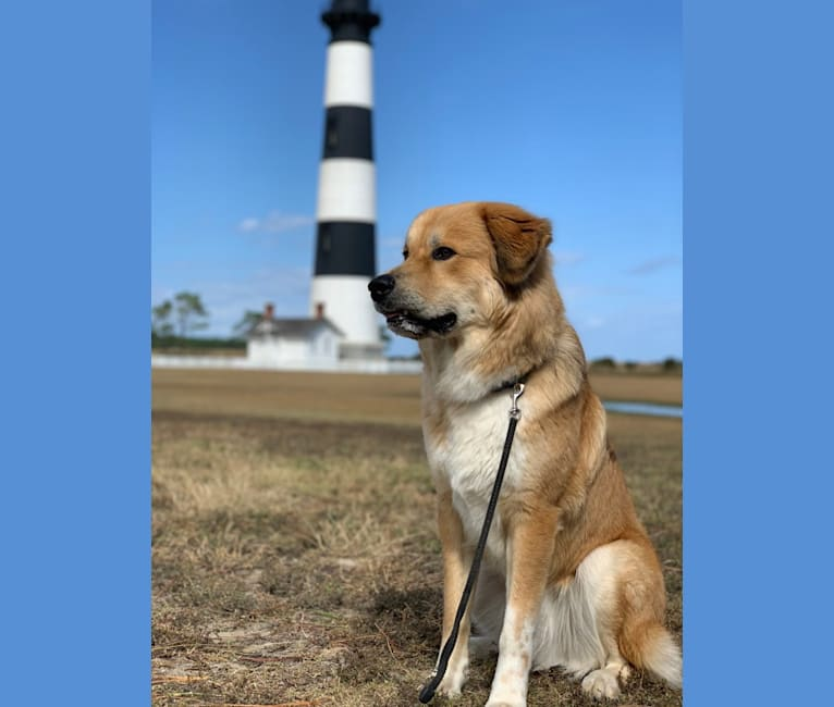 Photo of Bailey, a Great Pyrenees and American Foxhound mix in Clarksville, VA, USA